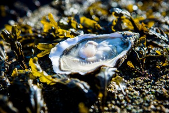 Oyster-1