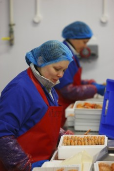 Packing Langoustines in Balbriggan